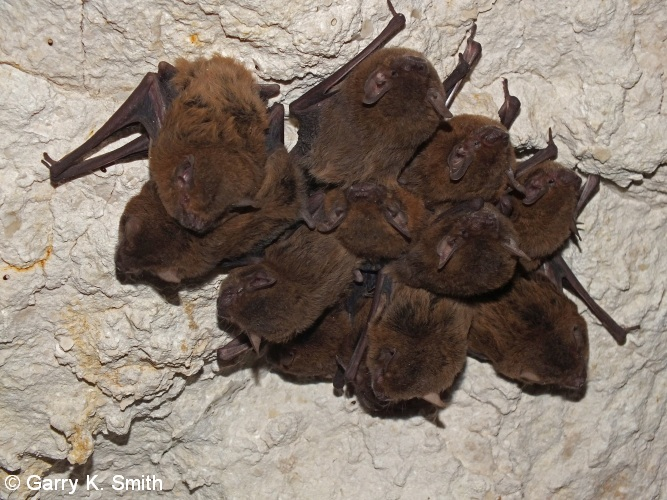 16 Bats in Shothole Canyon (C64) Photo GKSmithv2